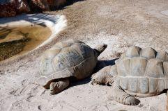 Des tortues géantes d'Aldabra. J'en avais déjà rencontrées en Californie !