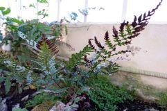 Des fougères, parfaites pour un jardin de thé.