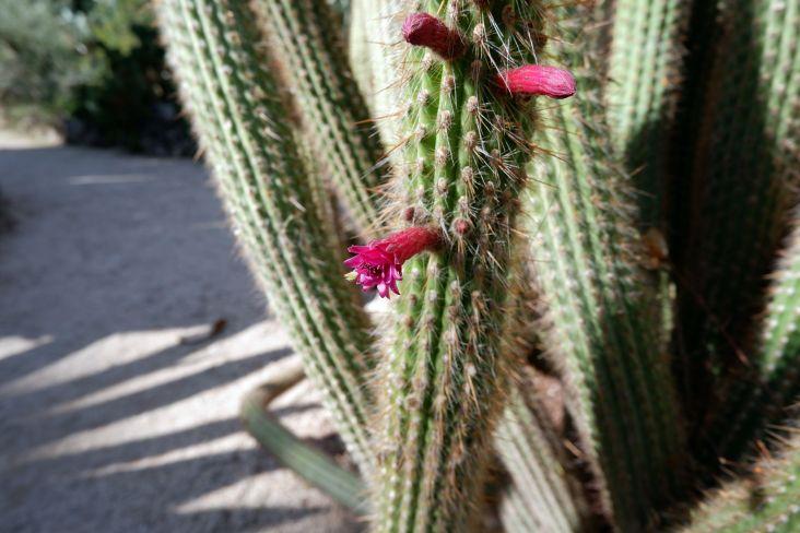 Oh, cela me fait penser que mes cactus (beaucoup plus petits que ceux de ce jardin) sont également en fleurs !