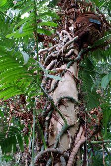 Des lianes qui font des câlins aux arbres.