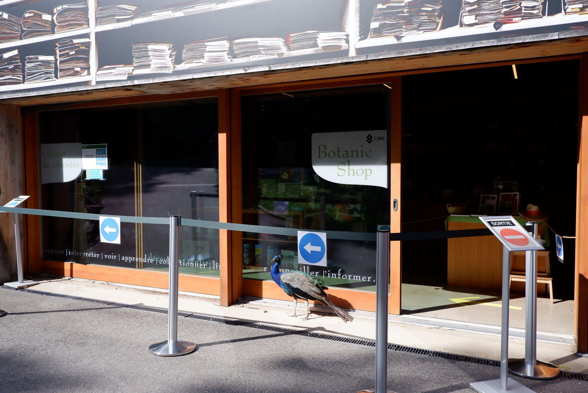 paon devant la librairie