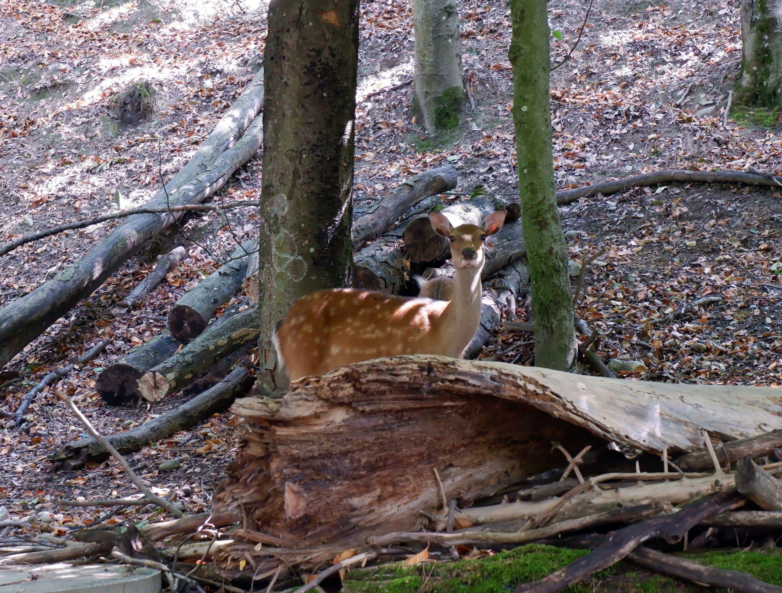 biche dans le bois de la bâtie
