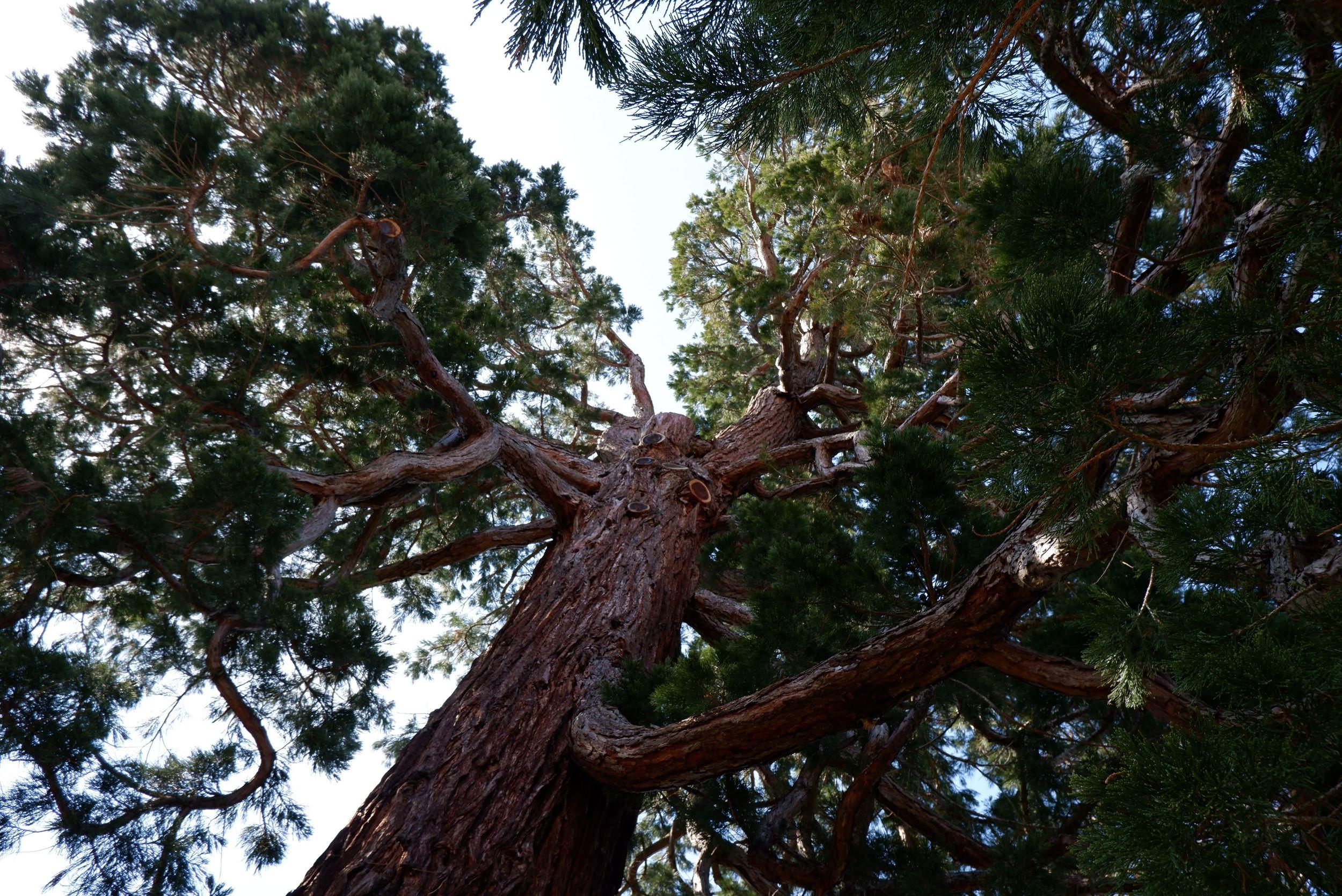 un séquoia géant