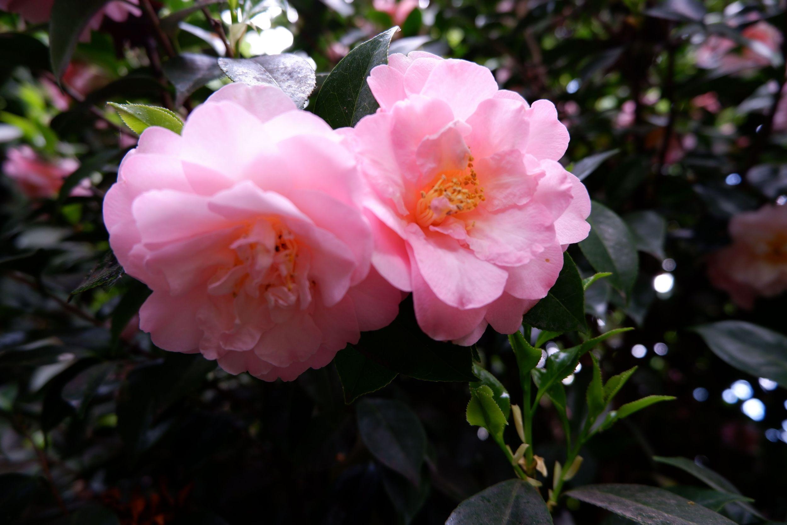 Des camélias roses