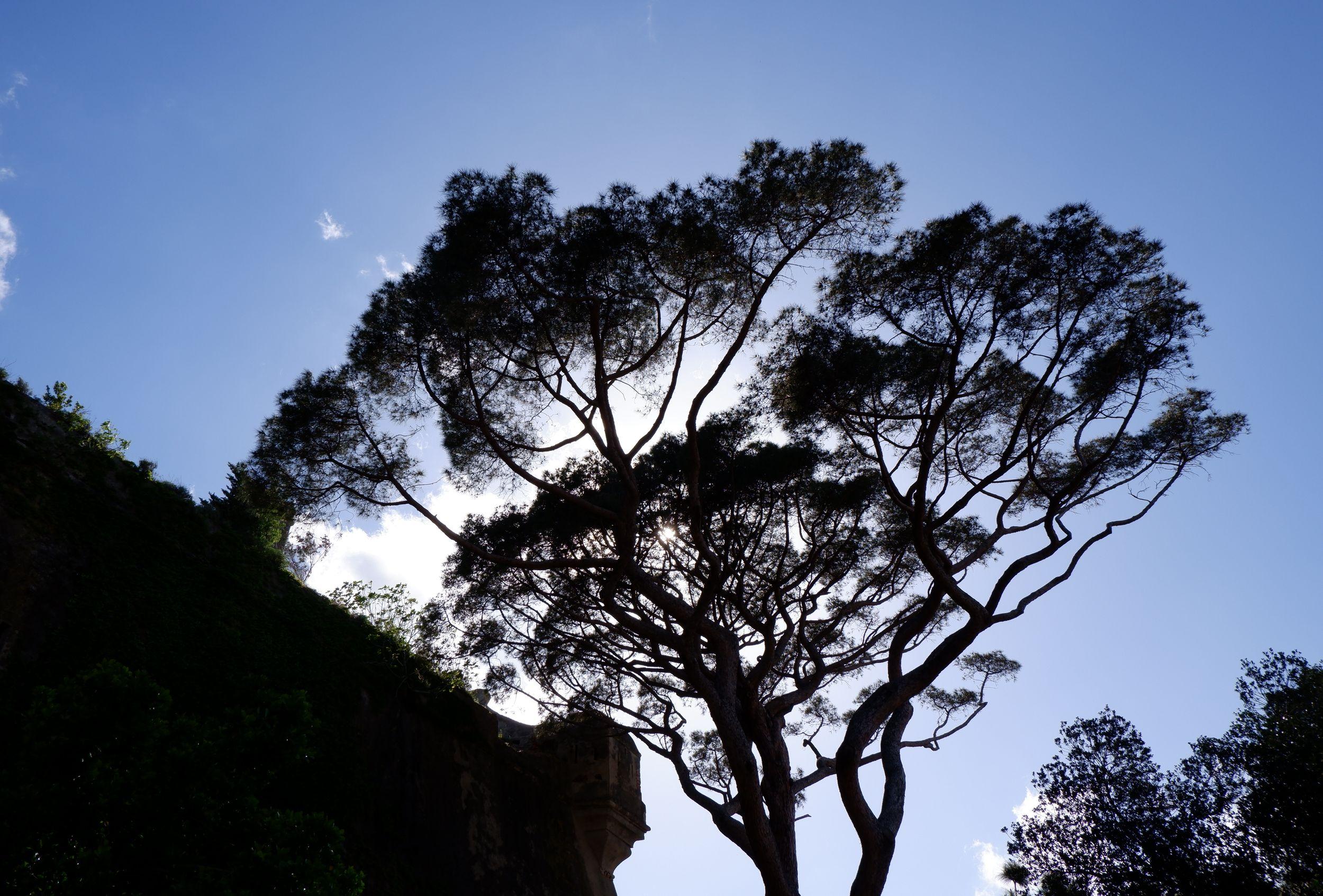 un pin vu en contre-jour