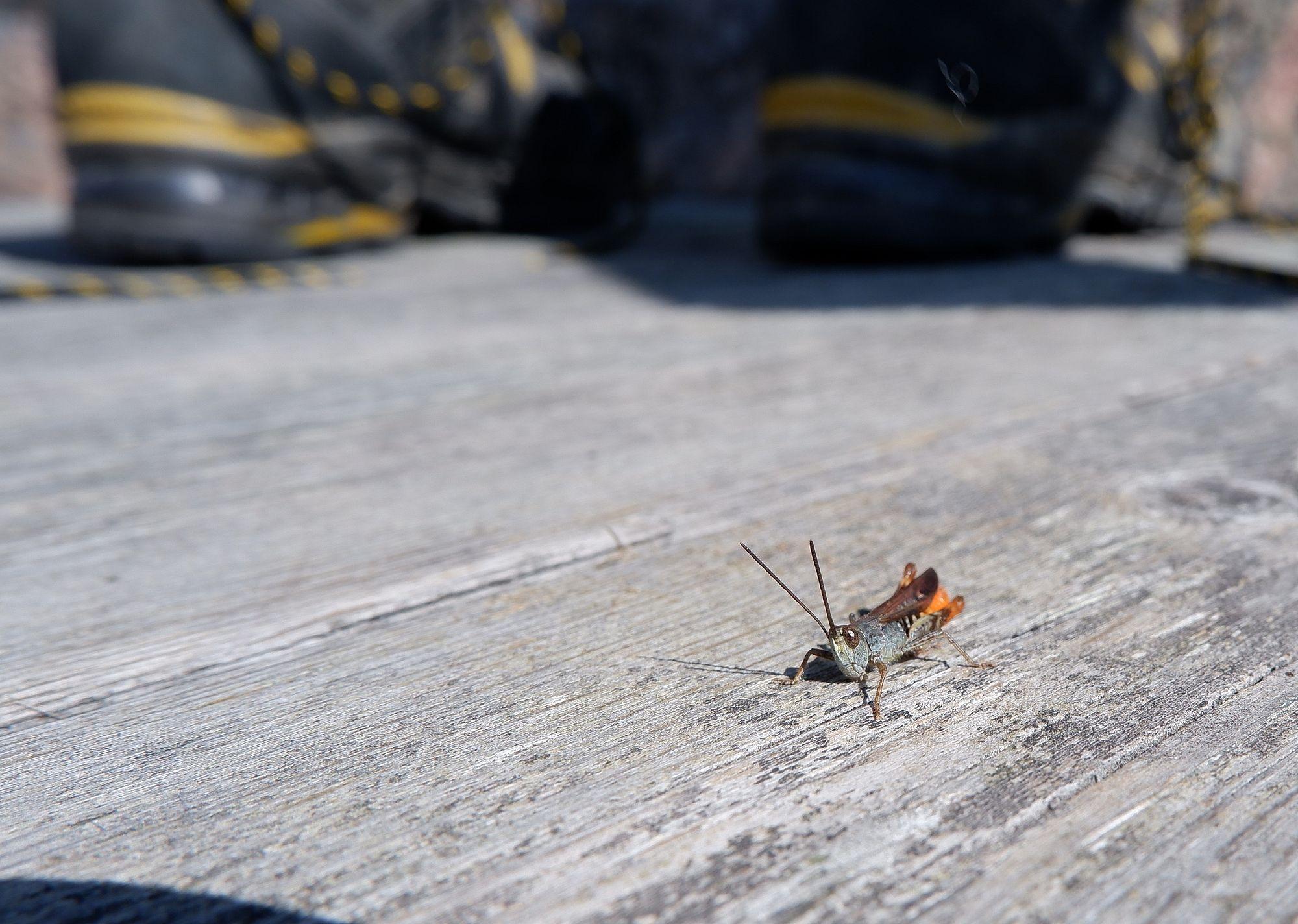 Une sauterelle aux ailes orangées